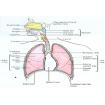 ارائه آماده درباره دستگاه تنفسی بدن انسان