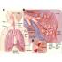 مهندسی پزشکی ارائه آماده درباره دستگاه تنفسی بدن انسان